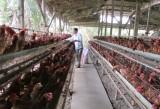 Nông dân thận trọng tái đàn gia súc, gia cầm sau tết