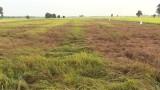 Vĩnh Hưng: 250ha lúa Đông Xuân bị cháy rầy