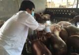 Bệnh lở mồm long móng trên lợn ở Tiền Giang diễn biến phức tạp