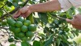 Nhìn lại 5 năm tái cơ cấu ngành nông nghiệp - Bài 2: Cơ hội và thách thức