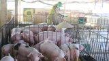 UBND tỉnh Long An ra Chỉ thị triển khai phòng, chống dịch tả lợn Châu Phi
