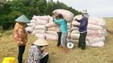 Giá lúa Đông Xuân có dấu hiệu tăng trở lại