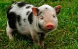 Tăng cường kiểm soát buôn bán, vận chuyển lợn cảnh bất hợp pháp