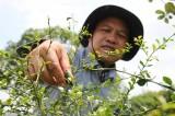 Nông dân Bến Tre trồng chanh ngón tay giá 3 triệu đồng/kg