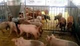 Thương lái tranh nhau mua heo, người chăn nuôi vẫn lo lắng