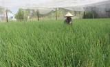 Bước tiến trong sản xuất nông nghiệp ứng dụng công nghệ cao
