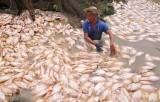 Cá lại chết hàng loạt trên sông La Ngà sau trận mưa lớn
