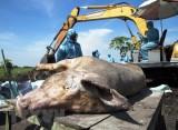 Thêm hai tỉnh Kon Tum, Bạc Liêu xuất hiện ổ dịch tả lợn châu Phi