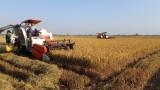 Giá lúa Hè Thu giảm mạnh, nông dân sản xuất lợi nhuận không cao