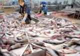 Giá cá tra thương phẩm và cá giống giảm mức thấp nhất trong 10 năm qua
