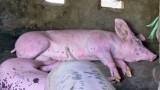 Vĩnh Hưng: Phát hiện thêm 2 ổ dịch tả heo Châu Phi, tiêu hủy 19 con