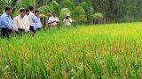 Long An xây dựng giống lúa chiến lược mang thương hiệu cho tỉnh