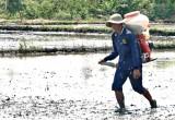 Tăng cường hoạt động đào tạo, tập huấn sản xuất lúa bền vững từ dự án VnSAT