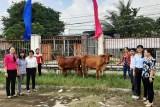 Trung ương Hội Liên hiệp Phụ nữ Việt Nam trao bò giống tại Long An
