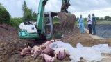 Vĩnh Hưng phát hiện, tiêu hủy 27 con heo bị dịch tả heo Châu Phi