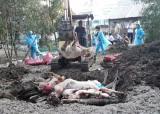 Tiêu hủy trên 18.200 con heo nhiễm dịch tả heo châu Phi