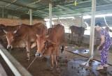 Tổ hợp tác Chăn nuôi bò thịt xã Hòa Khánh Tây: Hướng đến nâng cao chất lượng giống bò