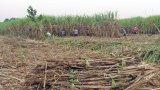 Về lâu dài, Long An chuyển đổi một số diện tích mía không hiệu quả sang cây trồng khác