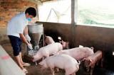 Người dân e ngại tái đàn chăn nuôi phục vụ tết