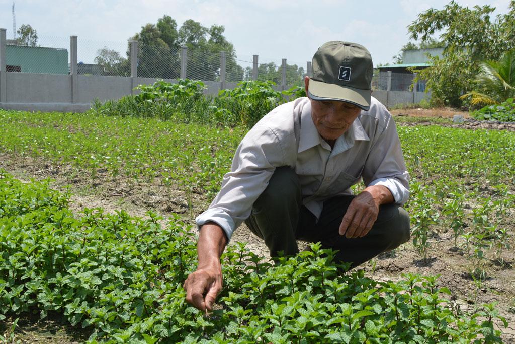 Tùy theo mùa, ông Nguyễn Văn Tắng trồng xen canh các loại rau khác nhau