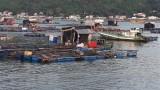 Kiên Giang: Cá nuôi lồng bè trên biển chết hàng loạt