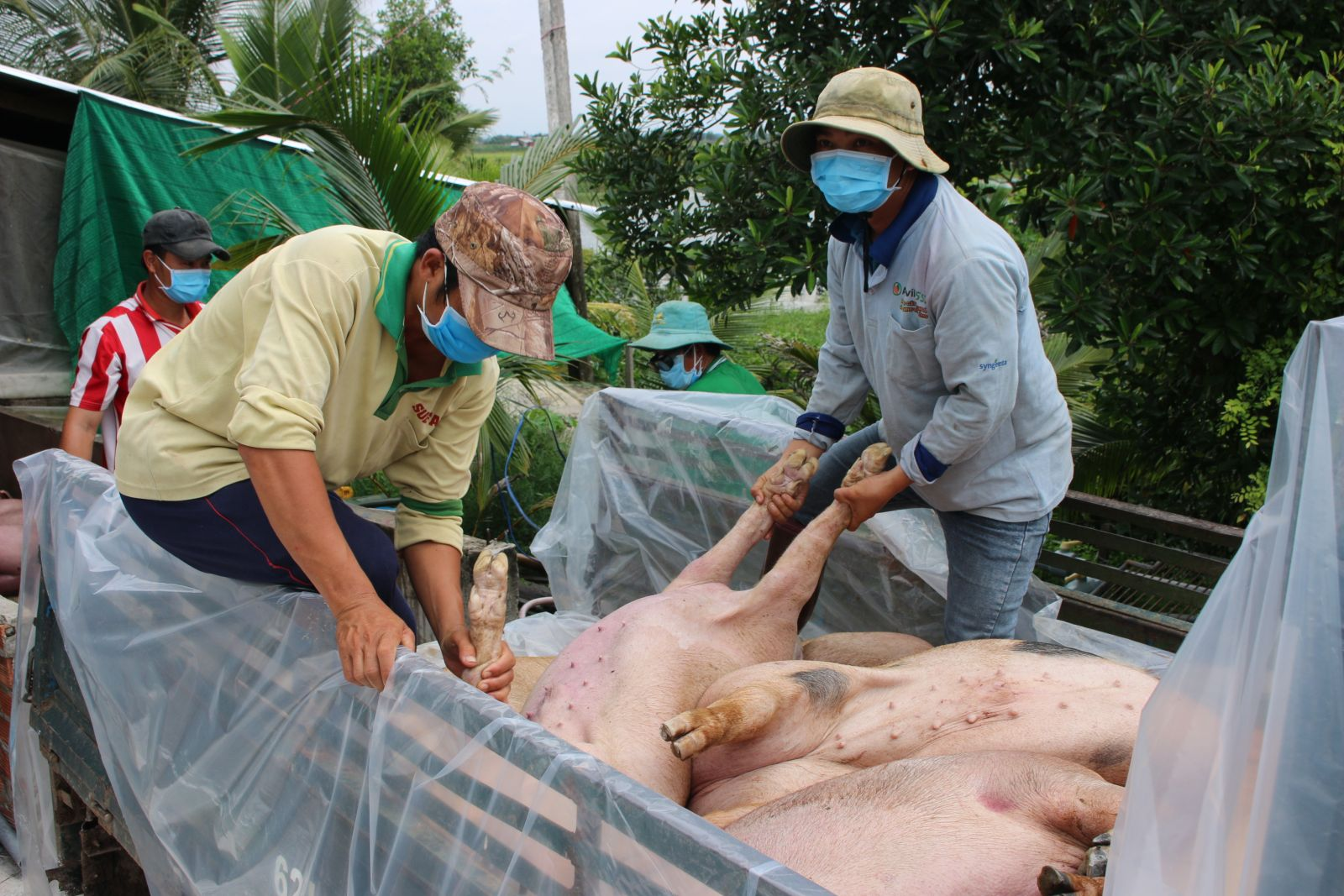 African swine fever has caused much damage to farmers