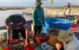 Giá tôm nguyên liệu tăng trở lại, người nuôi tôm có lãi ổn định