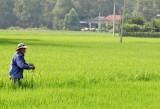 Nông dân Cần Đước tập trung phòng trừ rầy nâu