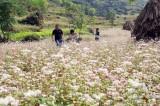 Hà Giang khai mạc lễ hội hoa tam giác mạch 'Sắc hồng Cao nguyên đá'