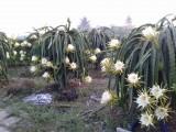 Nông dân Thủ Thừa có lãi với cây thơm, chanh, thanh long và khoai mì