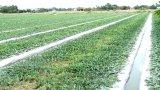 Nông dân Cần Đước xuống giống 15ha dưa hấu tết