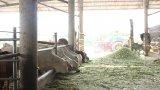 Long An: Sơ kết 4 năm thực hiện Đề án 'Xây dựng vùng chăn nuôi bò thịt tập trung ứng dụng công nghệ cao'