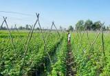 Nông dân Bến Lức tập trung xuống giống rau màu phục vụ tết