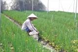 Nông dân trồng rau màu phục vụ tết