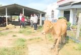 Phó Chủ tịch UBND tỉnh Long An - Phạm Văn Cảnh làm việc về hỗ trợ HTX điểm nuôi bò ứng dụng công nghệ cao