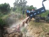Tân Hưng tiêu hủy gần 4,5 tấn heo nhập lậu