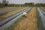 Kỳ vọng mùa dưa tết bội thu