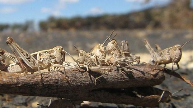 Các đàn châu chấu đã tàn phá hàng nghìn hécta đất canh tác ở Ấn Độ. (Nguồn: BBC)