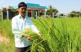 Lúa Nàng thơm Chợ Đào chuẩn bị vào mùa thu hoạch