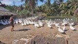 Nông dân nuôi gà, vịt cung cấp thị trường tết