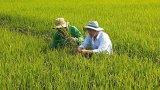 Tân Hưng: Trên 600ha lúa Đông Xuân bị sâu năn gây hại