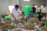 Thanh Long rớt giá do ảnh hưởng dịch virus corona