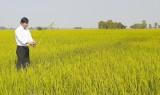 Tân Hưng: Trên 1.500 ha lúa Đông Xuân bị sâu năn gây hại