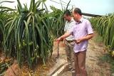 Châu Thành: Hội Nông dân triển khai mô hình sản xuất thanh long ứng dụng công nghệ cao