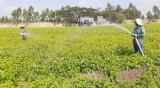 Nông dân Tân Hưng xuống gần 800ha mè vụ Xuân Hè 2020
