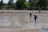 Bất chấp khuyến cáo, nông dân xuống giống hàng ngàn hecta lúa Hè Thu