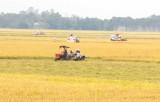Hiệu quả từ chương trình xây dựng cánh đồng lớn