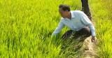 Tân Trụ: Thiệt hại trên 75% diện tích lúa Đông Xuân do hạn, mặn