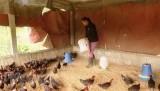 Triển khai giải pháp phòng, chống dịch bệnh gia súc, gia cầm
