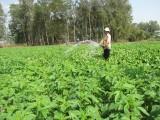 Tăng thu nhập từ trồng mè